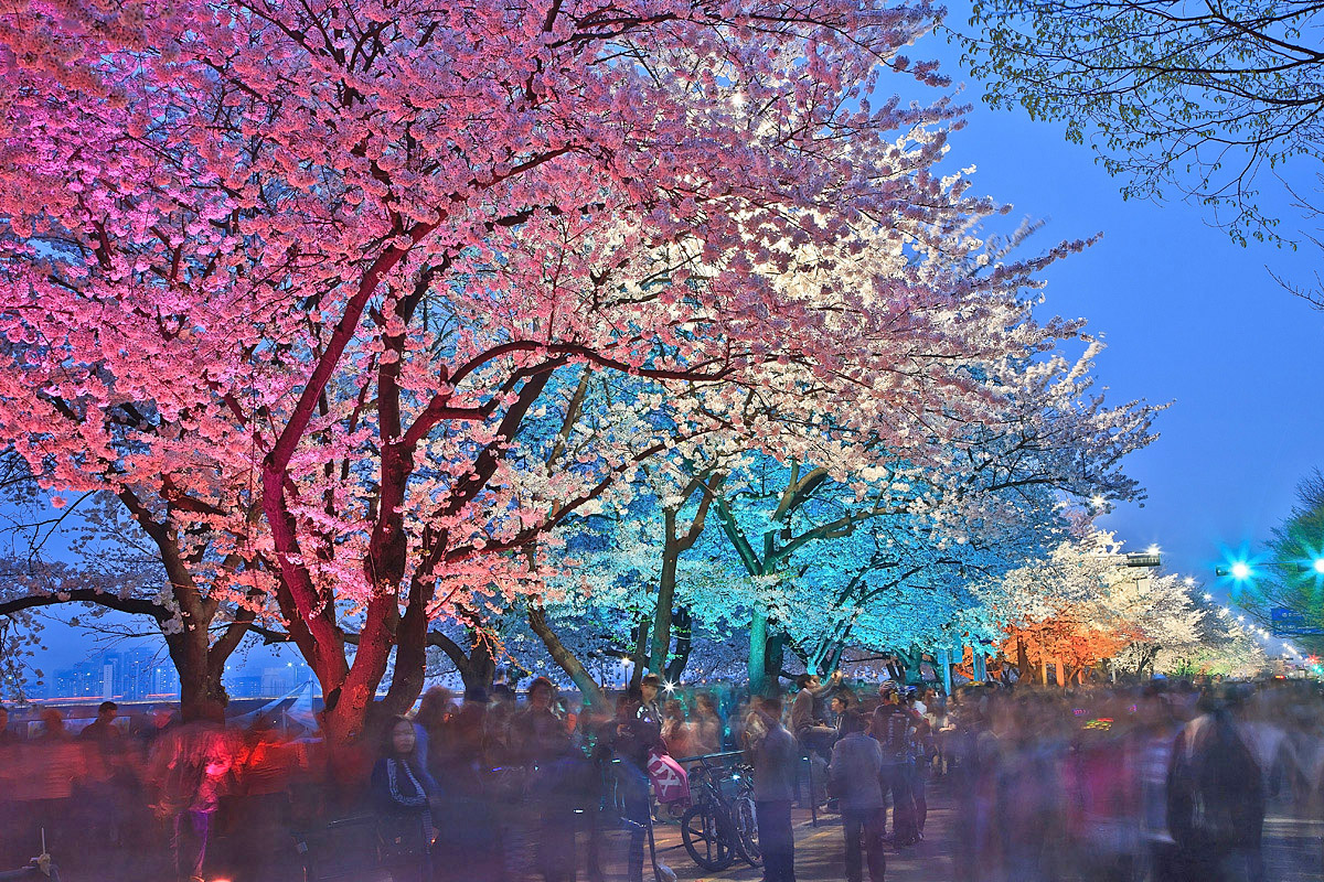 Lifeplus Cherry Blossom Picnic Festival 2017 Hab Korea Net