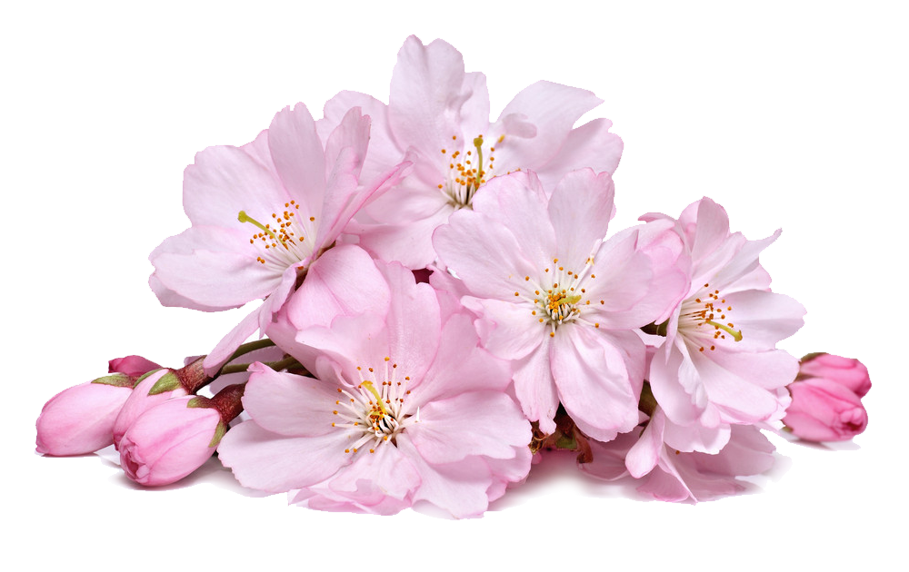 cherry_blossoms_png