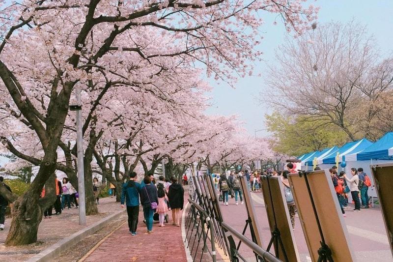 Korean Cherry Blossom